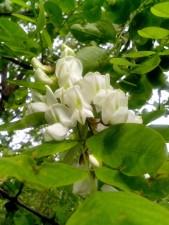 Locust tree bloom, gren