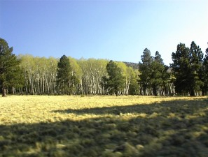haapa, grove, pines