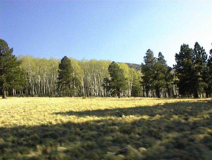 aspen, grove, pines
