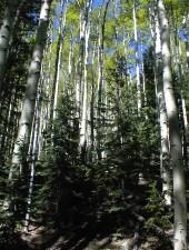 Aspen, drveće, Gaj