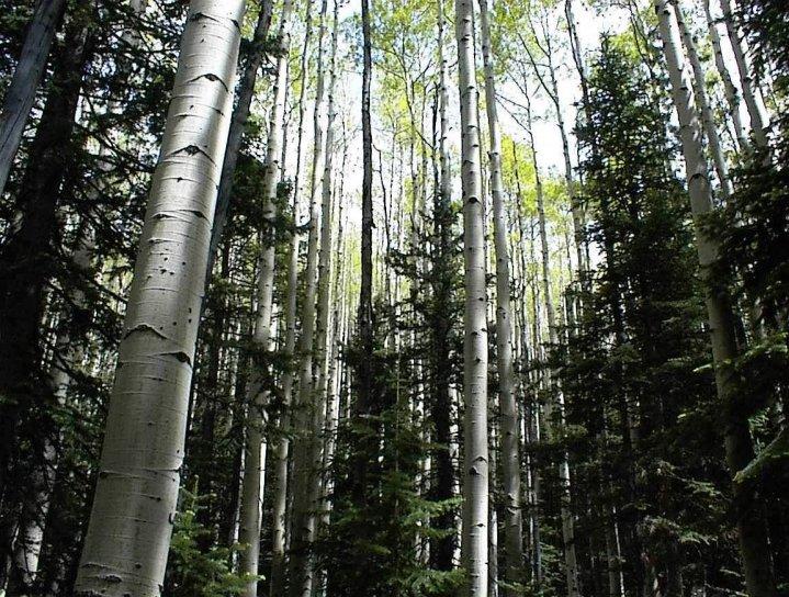 aspen, woods