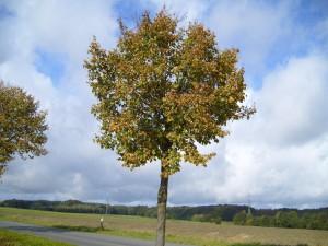 automne, tilleul, arbre