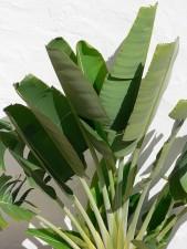 pisang, hijau tanaman, putih dinding
