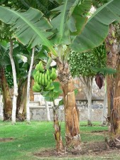 banane, arbre, vert, bananes