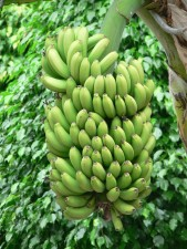 green, bananas tree