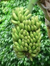 vert, bananes arbre