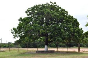 grand, blanchie à la chaux, arbre, blanc, parc