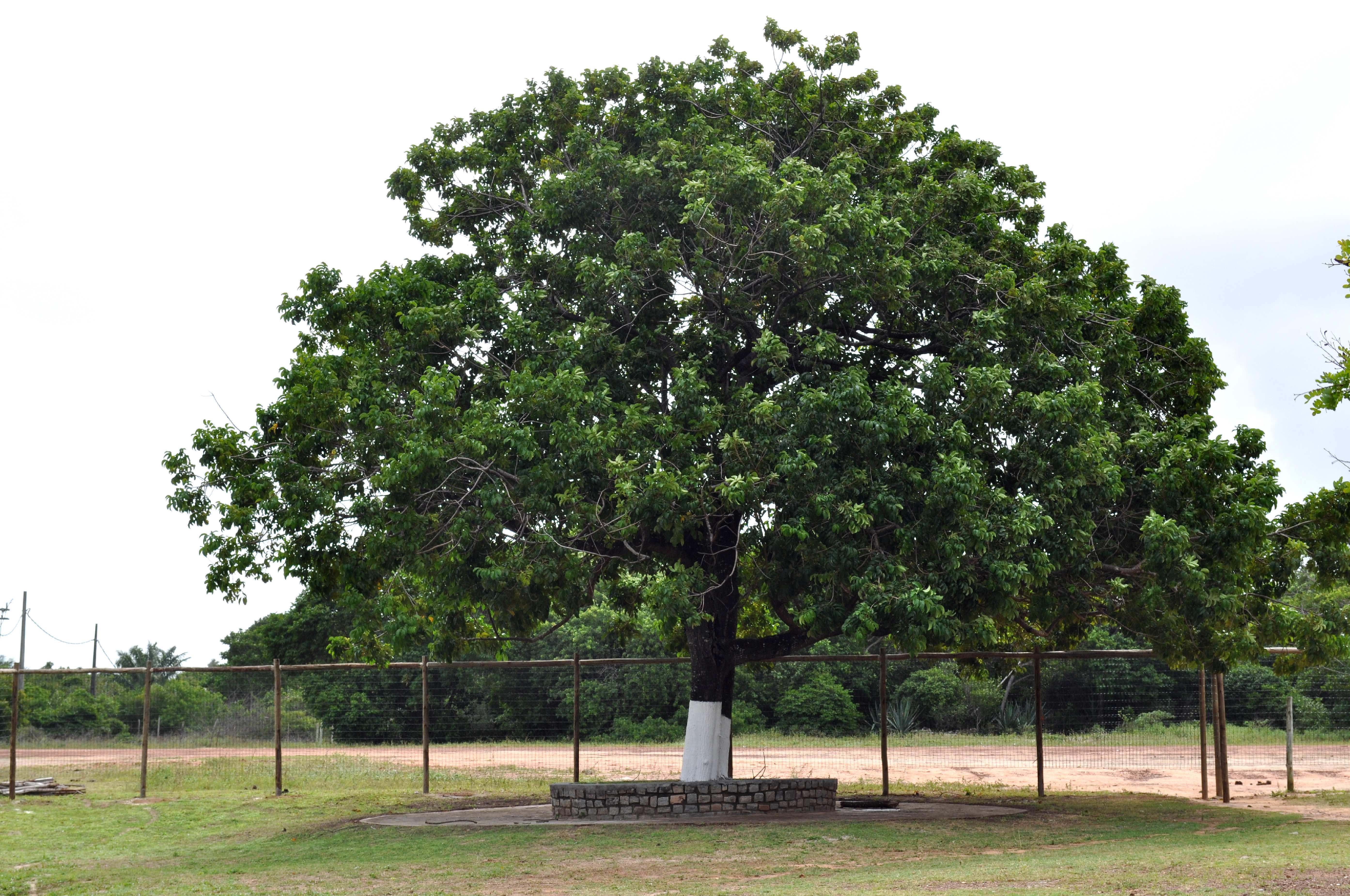 Free photograph; big, whitewashed, tree, white, park