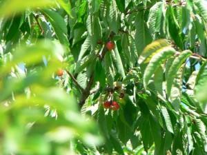 bigarreau, tree