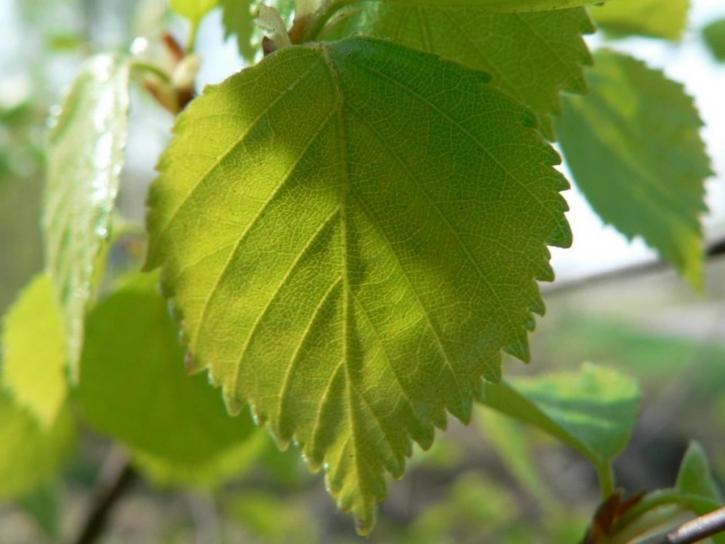 beau, bouleau, feuilles
