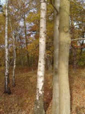birch, tree, trunks