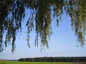 bouleau, feuille, feuilles, branche