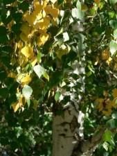 bouleau, feuilles