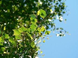 bouleau, feuilles, vert