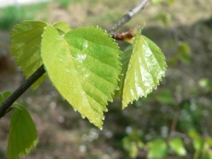 birch, leaves, green leaves