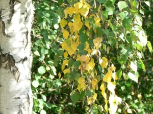 bouleau, feuilles, soleil