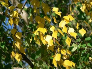 birch, leaves, yellow