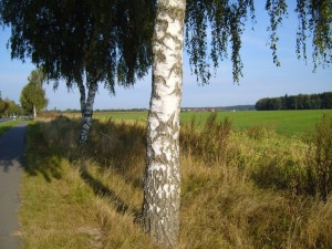 betulla, albero, strada