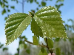 bouleau, arbre, feuilles