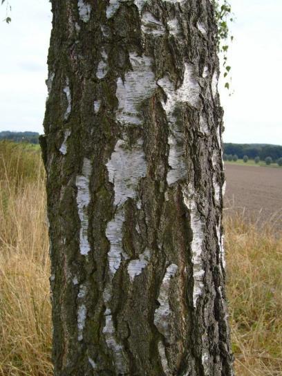 betulla, albero, tronco