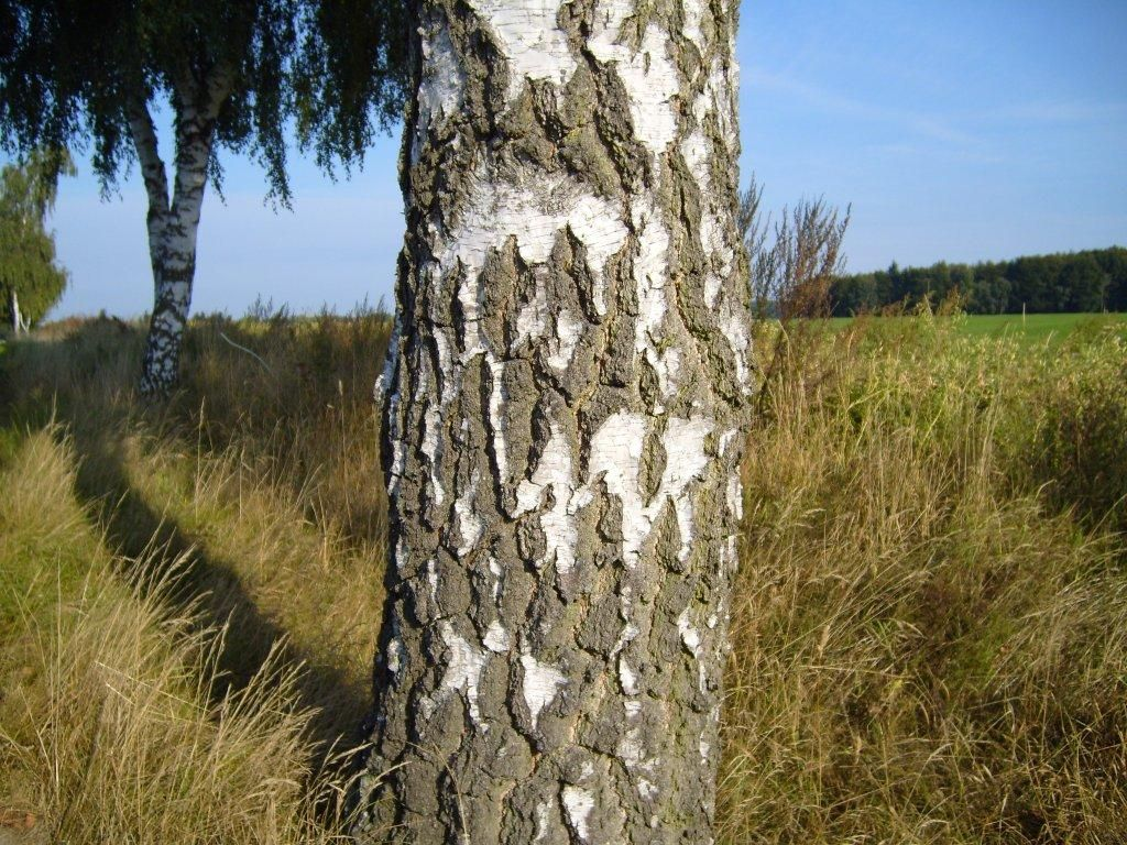 Paper Birch Tree Facts