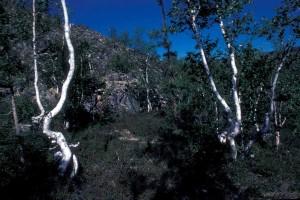 stunted, birch, tree