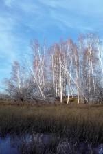 grands, bouleau, arbres