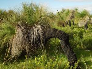 schwarz, Junge, baum, Xanthorrhoea, australis