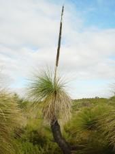 blackboy, tree, dried, flower, spike