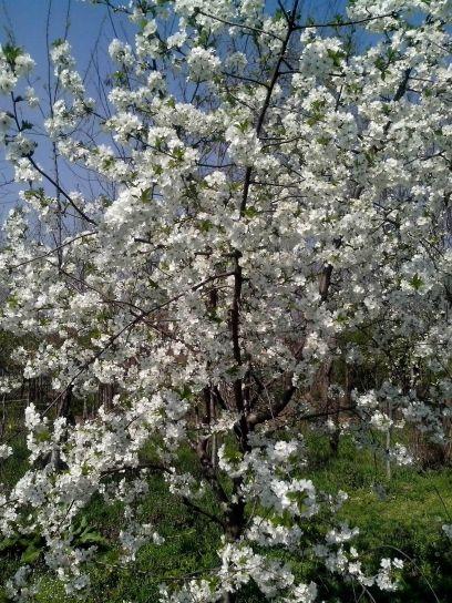 floraison, cerise minuscules fleurs arbre, blanc