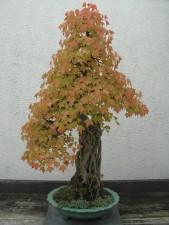 Bonsai, mùa thu