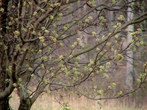 bradford, poire, bourgeons, fleurs