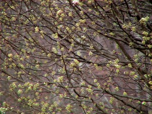 bradford, pear, tree