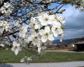 bradford, pear, tree, blossoms