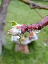 buds, branches, raindrops