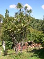 chou, arbre, rural, Zealand