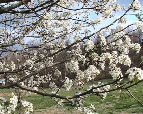 callery, lê, pyrus, calleryana, cây, Hoa