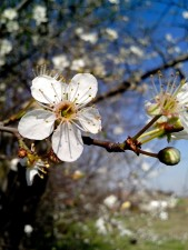 cherry, blossom, pollen