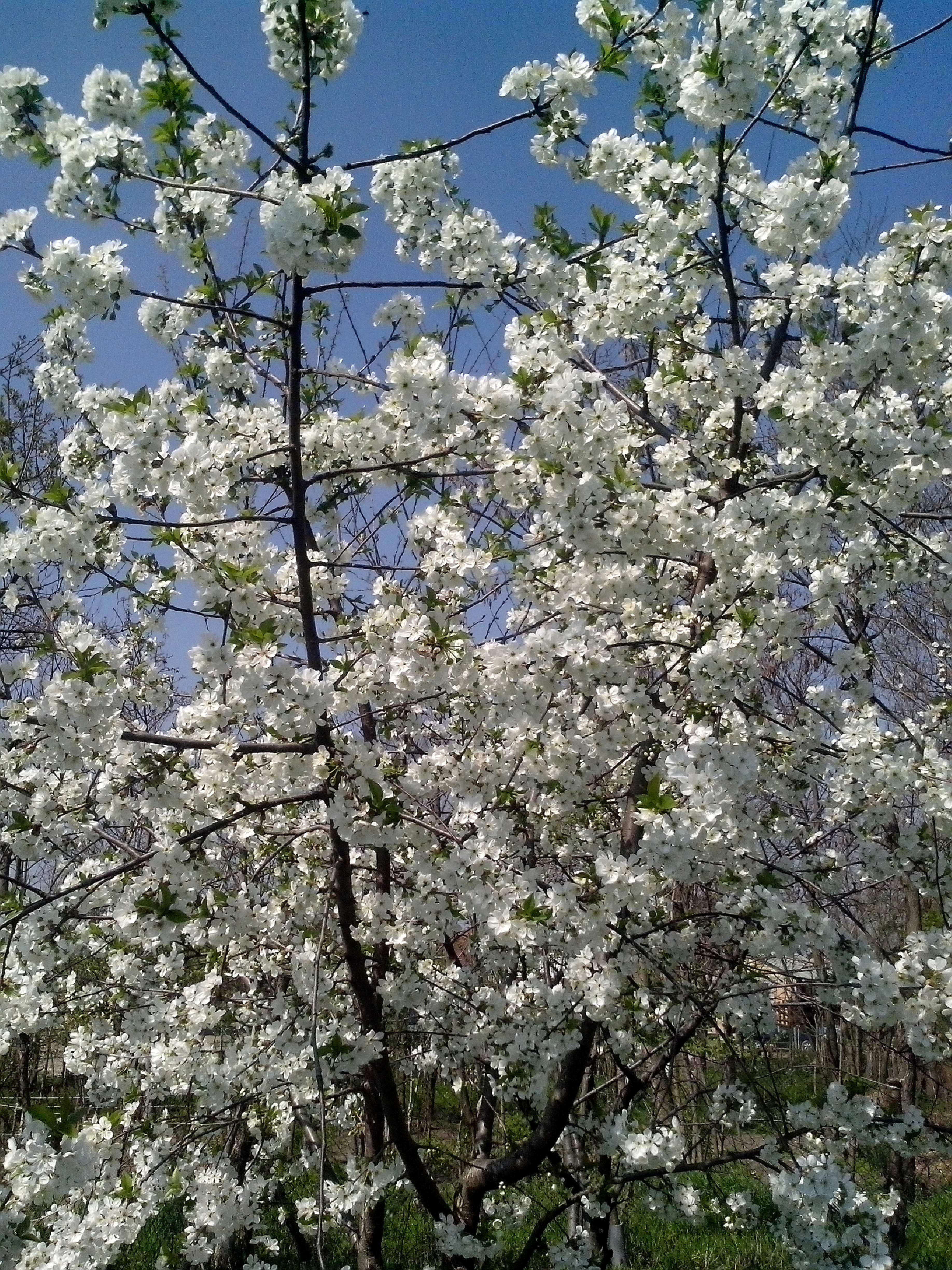 Free photograph; cherry, bloom, white, flowers, branches