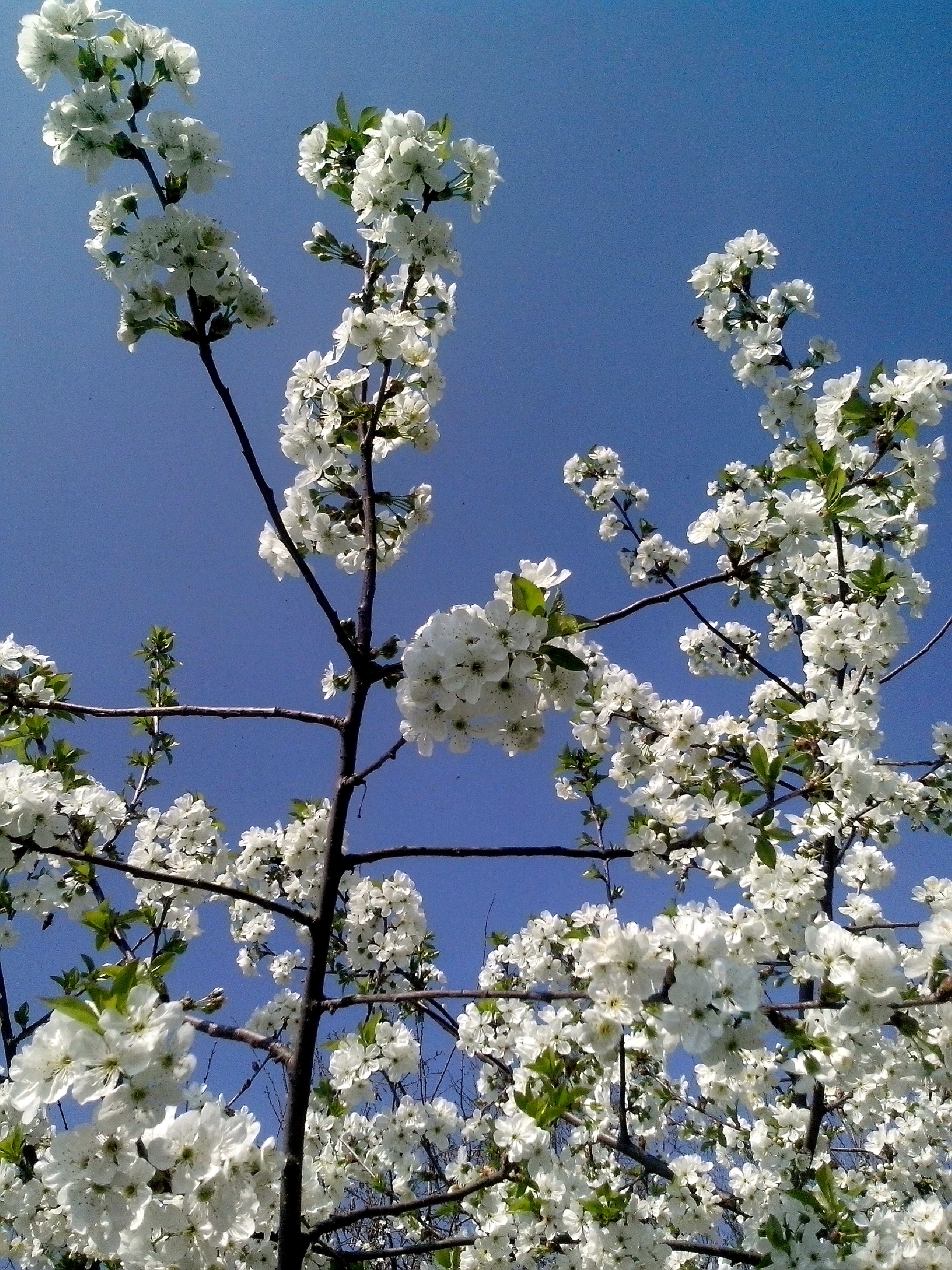 Free photograph; cherry, bloom, white, flowers