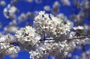 cây anh đào, Hoa đào