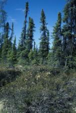noire, l'épinette, forêt, ledum