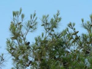 conifer, cones, trees