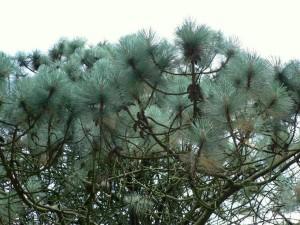 conifère, arbre