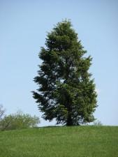 conifère, arbre, parc