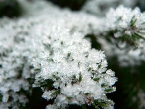 frost, spruce