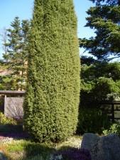genièvre, arbre, juniperus, osteosperma