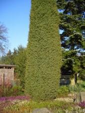 juniperus, osteosperma, juniper, tree