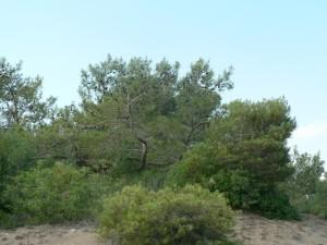 low, conifer, tree