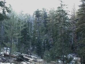 khu rừng tươi tốt, hỗn hợp, vân sam,